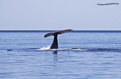 Ballena Franca Austral 1 (pniselba) Tags: ballena ballenafrancaaustral puertopiramides peninsula valdes peninsulavaldes puerto madryn puertomadryn chubut argentina eubalaenaaustralis southernrightwhale whale