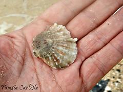 Thorn Oyster (tinlight7) Tags: thornoyster shell seashell beach monkeyisland vietnam taxonomy:kingdom=animalia animalia taxonomy:phylum=mollusca mollusca taxonomy:class=bivalvia bivalvia taxonomy:order=ostreoida ostreoida taxonomy:family=spondylidae spondylidae taxonomy:genus=spondylus spondylus thornyoysters 海菊蛤屬 taxonomy:common=thornyoysters taxonomy:common=海菊蛤屬 taxonomy:subclass=pteriomorphia pteriomorphia taxonomy:order=ostreida ostreida taxonomy:species=occidens taxonomy:binomial=spondylusoccidens spondylusoccidens inaturalist:observation=5387450