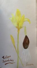 Tulipa Sylvesris (explore) (emma2thomas) Tags: tulipasylvestris bostulp watercolour aquarel artonpaper emmathomas stinzeplant