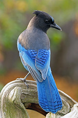 Steller's Jay Portrait (AlaskaFreezeFrame) Tags: birds crested steller alaska alaskafreezeframe canon 70200mm telephoto blue conifers birch trees bold beautiful gorgeous nature outdoor outdoors wildlife flying wild animal stellerjay jay depthoffield pose anchorage
