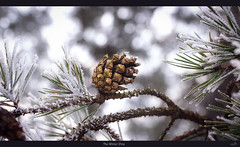The Winter Pine (VandenBerge Photography (this week mostly absent)) Tags: winter sky season bokeh dof pov light hoarfrost frost cold pinetree pinecone nature thebeautyofnature canon ef100mmf28lmacroisusm tree outdoor panorama macro