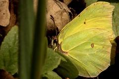 Årets första fjäril (ros-marie) Tags: fs170416 varkanslor fotosondag