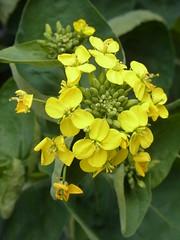 菜の花 (nofrills) Tags: 菜の花 ナノハナ ナタネ アブラナ rapeseed yellow spring flower flowers flora floral plant