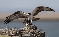 Osprey pair (Mawrter) Tags: osprey action mating attempt trying nature pair two bird birds birding avian canon wild wildlife mate nest wing wings nj forsythenwr specanimal