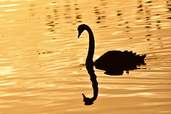 Black Swan (Luke6876) Tags: blackswan swan bird animal wildlife australianwildlife water reflection silhouette