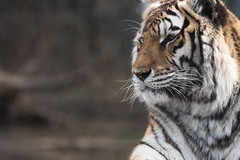 Siberian Tiger 18 (cypher40k Photography) Tags: amur amurtiger bigcat color colour junglecatworld nikon siberian siberiantiger tiger zoo