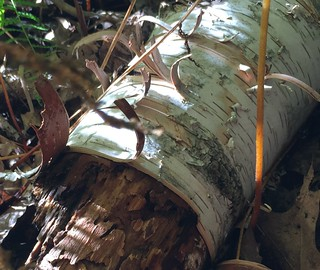 #inthewoods #intheforest #fallentrees #fallenbirch #mikeyphotography #Mikeliebler