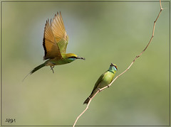 BIRD NAME : BEE EATER (Arshad Aashraf) Tags: naturephotography natureimages naturelover naturellover wildlifephotographey wildlife wildlifephotography ilovewildlife arshadashraf arshad pakistan balochistan photography pictures happiness life style love emotions flicker action
