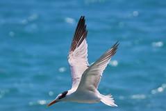 Canon2017.03.17 2889 (seahorse19911) Tags: birds brittanyanddadsvisit canon20170317 drytortugas florida floridakeys tern