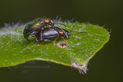 _IMG1634 Willow Flea Beetles - Crepidodera aurata (Pete.L .Hawkins Photography) Tags: willow flea beetles crepidodera aurata pentax petehawkinsphotography petehawkins petelhawkinsphotography petelhawkins pentax100mmmacro pentaxmacroinsects fantastic nature incredible