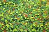 Flamboyant (Irene Becker) Tags: africa blackafrica delonixregia imagesofnigeria kaduna kadunastate nigeria nigerianimages nigerianphotos northnigeria poincianas royalpoinciana westafrica flamboyant flowers trees