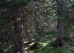 04-IMG_8409 (hemingwayfoto) Tags: österreich austria baum europa fichte hohetauern nationalpark natur naturschutzgebiet rauris rauriserurwald reise tannenbaum urwald wald
