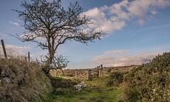 Tree by the stile_NK2_2982 (Jean Fry (on catchup)) Tags: brisworthy dartmoor dartmoornationalpark devon englanduk moorland nationalparks trees uk westcountry gates stiles hawthorn sonewalls brisworthyplantation