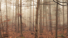 Misty Eifel (Netsrak) Tags: forst natur nebel wald fog forest mist nature woods eifel tree trees baum bäume autumn herbst fall november 2016
