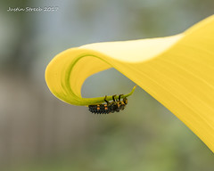 Ladybird Larva (strjustin) Tags: ladybirdlarva ladybug ladybuglarva ladybird bug insect macro flowers canon80d
