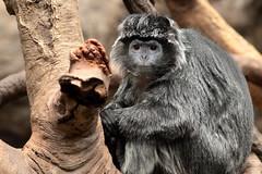 IMG_2778_1 (jopaz53) Tags: ef20028lll zoo monkey animal