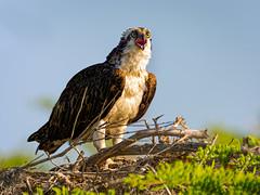Osprey on nest (Ed Rosack) Tags: usa osprey 25hawkskiteseaglesandallies bird bluecypresslake centralflorida nest ©edrosack florida nesting ospr pandionhaliaetus verobeach