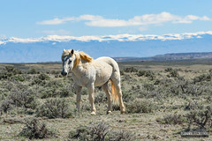 Blonde Haired Horse (kevin-palmer) Tags: cody greybull wyoming blm friendsofalegacy wild horses mustangs animals wildlife spring april sunny blue sky sagebrush white bighornmountains mcculloughpeaksmustangs snowcapped nikon180mmf28 telephoto