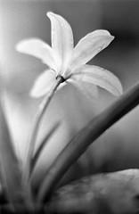 Scilla Siberica (Cattail_) Tags: minolta standdevelopment standdeveloped stand helsinki vanhankaupunginlahti annalanpuutarha xg1 rokkorpf mc ilford r09 spring flower v370 trix400 film filmisnotdead