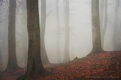 ambience 17 (Dyrk.Wyst) Tags: forest autumn fall trees misty moody deutschland buchenwald herbst wald mysterious bird vogel stimmung wuppertal laub forestfloor silhouetten ruhe peaceful