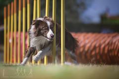 BRICE (DanMasa) Tags: border collie dog cane perro chien agility sport cinofili slalom