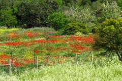 Poppy Field (Deida 1) Tags: poppyfield wildflowers april algarve portugal