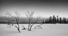 From Biri Øverbygd, Oppland, Norway (geirrisberg) Tags: biri biriøverbygd europa geografistedsnavn gjøvik landskap land mars myr nonaturfotover07052009naturfokus nordeuropa norden norge oppland sesong skandinavia vinter våtmark årstid østlandet