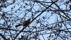 P1380721 (frechesgoer65) Tags: vogel eichelhäher rabenvogel