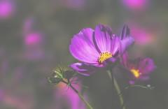 something to look forward to (rockinmonique) Tags: flower petal bloom blossum bud bokeh pink purple yellow outside dof moniquew canon canont6s tamron copyright2017moniquew