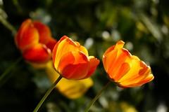 au jardin (majolie46) Tags: tulipes orangé printemps bokeh éclat luminance