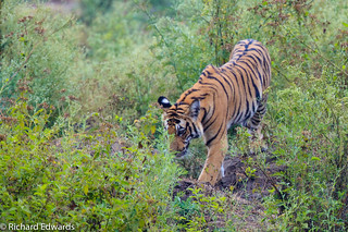 Bengal Tiger - Another shot of this beauty in the wild.