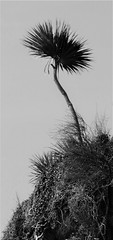 Palm (Mark C (Downloadable)) Tags: torbay palm cabbage tree cordyline australis clifftop mono black white silhouete plant coast coastal