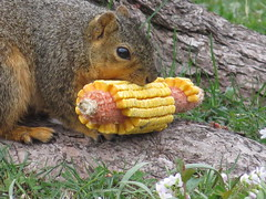 IMG_0516 (kennethkonica) Tags: nature canonpowershot summer global random hoosiers marioncounty midwest america usa indiana indianapolis indy colors animaleyes animal outdoor c squirrel wildlife wild corn rodent spring april hanks