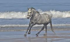 Sea Horse !! (nick.linda) Tags: horses seahorse northeastcoast sea surf beach skinningrove canon7dmkii sigma150600c