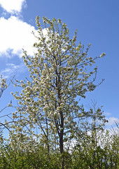 Pear tree in flower (conall..) Tags: pear beurre hardy tree blossom flower county down tullynacree garden beurrehardy hedge