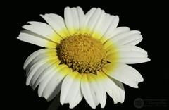 Margarita (J.Gargallo) Tags: margarita flor flores flower flowers macro macrofotografía jardín garden castellón castellóndelaplana comunidadvalenciana españa eos eos450d 450d canon canon450d tokina tokina100mmf28atxprod