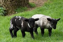 black and white (quietpurplehaze07) Tags: lambs black white twins