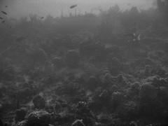 Ocean Floor VI (joeclin) Tags: amateur 2000s caribbean centralamerica outdoor underwater blackwhite grayscale monochrome fish corals oceanfloor canonpowershotsd500 america unitedstates usa virginislands vir nadir turtlecove buckisland atlantissubmarinetour joelin joeclin