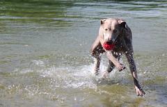 IMG_3109c (novasdtr) Tags: animal pets play water waterplay fetch animalplanet