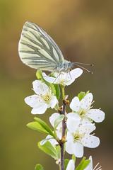 Grünader-Weißling │ Green-veined white │ Pieris napi (Bluesfreak) Tags: schmetterlinge tagfalter
