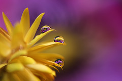 Each one in its place (Marilena Fattore) Tags: macro artistic canon tamron 90mm colors water waterdrops droplet nature closeup focus reflection bokeh light yellow violet purple delicate softness flower garden flores soft macrophotography onlyflores helichrysum elicrisofiore di carta