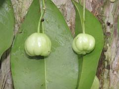 Acronychia baeuerlenii 5 (barryaceae) Tags: booderee national park jervis bay nsw australia arfps australian rainforest plant