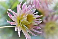 DSC_0170 = Loving the pastel colours (jangurney) Tags: d5500 nikon flower dahlia colourful macro closeup