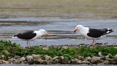 Tug of war (ChrisPy63) Tags: rspbreserves sigma nikond7200 nikon britishbirds leightonmoss lancashire nature outside uk blood food water greatblackbackedgull gulls gull
