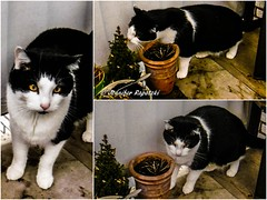Collage_Rufus (Bernsteindrache7) Tags: cats animal pet outdoor balcony flora fauna color