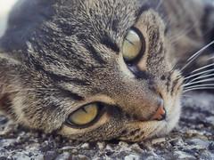 Sonnengenießerin (schasa68) Tags: katze cat profil tierprofil animal tiergesicht haustier augen pet