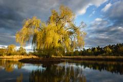 Golden Willow (Jannik Peters) Tags: golden hour landscape tree willow wheeping reflection clouds drama dramatic beautiful loxia 21 21mm sony fe a7 a7ii