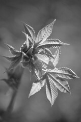 """Spring Is Nature's Way of Saying, Let's Party!"" (Jayhawk Explorer) Tags: ipiccy monochrome bw blackandwhite bokeh light leaves spring newgrowth samedaydifferentyear overlandparkarboretum overlandpark johnsoncounty kansas ks garden arboretum nature"