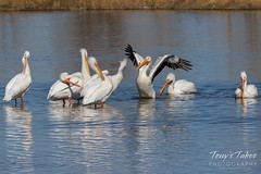 April 6, 2017 - Pelicans at play at the Adams County Fairgrounds. (Tony's Takes)