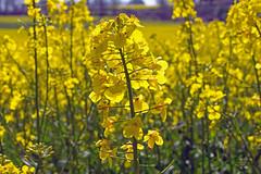 Rapeseed (Tony_Brasier) Tags: nikond7200 50mm faversham kent england rapeseed fields oil cooking mud